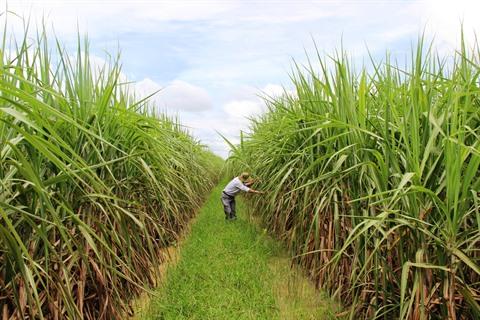 champ canne à sucre